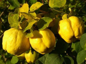 cidonija obuolio formos