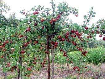 Raudonas agrastas medžio formos