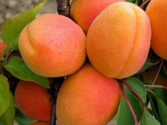 abrikosas goldrich