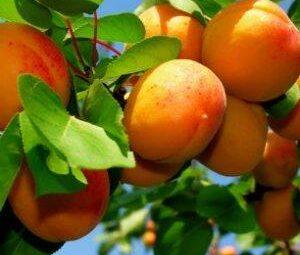 abrikosas harcot