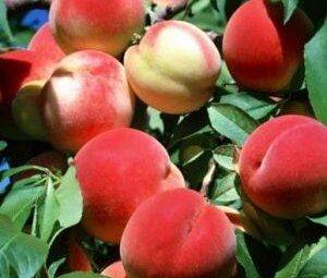 persikas harnas