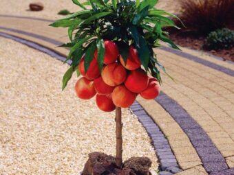 Koloniniai persikai