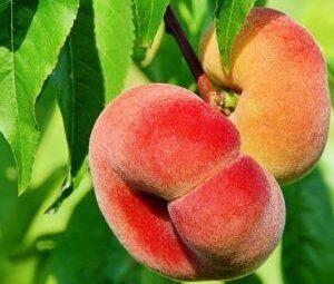 persikas saturnas