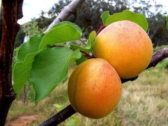 abrikosas šiaurės triumfas