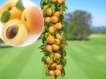 Koloniniai abrikosai