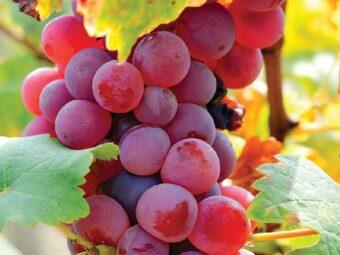 vynuoge canadice