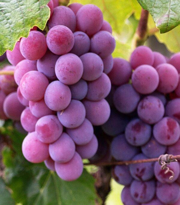 vynuoge einset