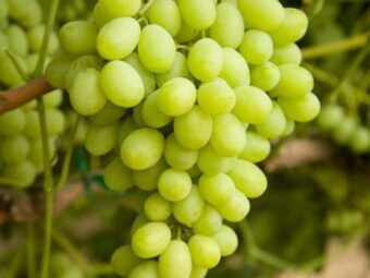 vynuoge lancelot