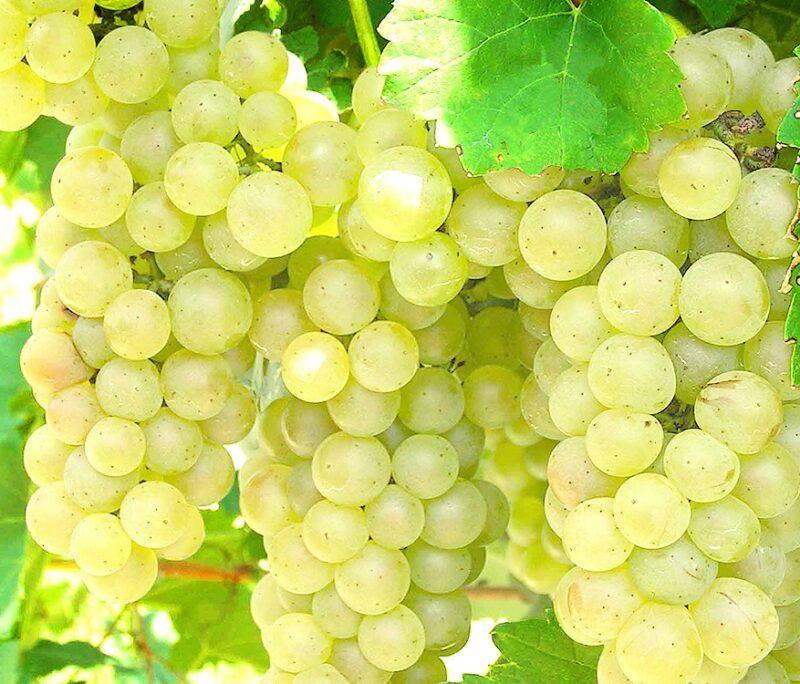 vynuoge ontario