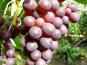 vynuoge stella